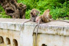 Καβούρι πιθήκων που τρώει macaque καλλωπίζοντας το ένα άλλο Στοκ Φωτογραφία