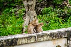Καβούρι πιθήκων που τρώει macaque καλλωπίζοντας το ένα άλλο Στοκ Εικόνες