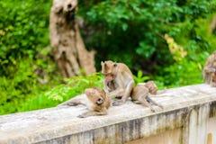 Καβούρι πιθήκων που τρώει macaque καλλωπίζοντας το ένα άλλο Στοκ φωτογραφία με δικαίωμα ελεύθερης χρήσης