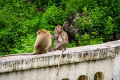 Καβούρι πιθήκων που τρώει macaque καλλωπίζοντας το ένα άλλο Στοκ εικόνα με δικαίωμα ελεύθερης χρήσης