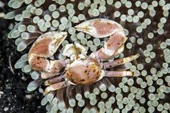 Καβούρι πορσελάνης Anemone Στοκ εικόνα με δικαίωμα ελεύθερης χρήσης