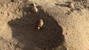 Καβούρι που σέρνεται κατά μήκος της αμμώδους ακτής της θάλασσας στην Ταϊλάνδη απόθεμα βίντεο
