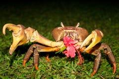 Καβούρι που τρώει Hibiscus Στοκ Φωτογραφία