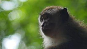 Καβούρι που τρώει Macaque, πίθηκος Στοκ εικόνα με δικαίωμα ελεύθερης χρήσης