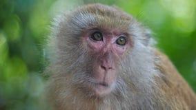 Καβούρι που τρώει Macaque, πίθηκος Στοκ Φωτογραφία