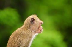 Καβούρι - που τρώει macaque το πορτρέτο πιθήκων Στοκ Εικόνα