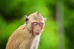 Καβούρι - που τρώει macaque το πορτρέτο πιθήκων Στοκ φωτογραφία με δικαίωμα ελεύθερης χρήσης