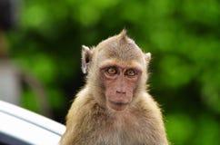 Καβούρι - που τρώει macaque το πορτρέτο πιθήκων Στοκ εικόνες με δικαίωμα ελεύθερης χρήσης