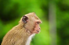 Καβούρι - που τρώει macaque το πορτρέτο πιθήκων Στοκ Εικόνες