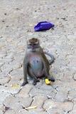 καβούρι που τρώει macaque Στοκ Εικόνα