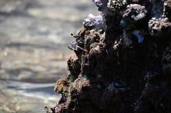 Καβούρι σε ένα stone Στοκ Εικόνα