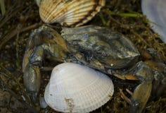 Καβούρι στα θαλασσινά κοχύλια στο βρώμικο υπόβαθρο άμμου Στοκ φωτογραφία με δικαίωμα ελεύθερης χρήσης