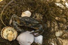 Καβούρι στα θαλασσινά κοχύλια στο βρώμικο υπόβαθρο άμμου Στοκ εικόνα με δικαίωμα ελεύθερης χρήσης