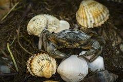 Καβούρι στα θαλασσινά κοχύλια στο βρώμικο υπόβαθρο άμμου Στοκ εικόνες με δικαίωμα ελεύθερης χρήσης