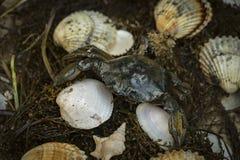 Καβούρι στα θαλασσινά κοχύλια στο βρώμικο υπόβαθρο άμμου Στοκ Εικόνες