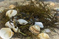 Καβούρι στα θαλασσινά κοχύλια στο βρώμικο υπόβαθρο άμμου Στοκ Φωτογραφία