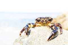Καβούρι στην παραλία Στοκ εικόνα με δικαίωμα ελεύθερης χρήσης