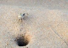 Καβούρι στη ζωή παραλιών στην άμμο Στοκ Εικόνα