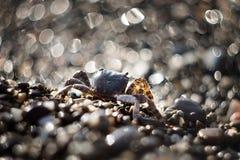Καβούρι στο αμμοχάλικο Ζώο θάλασσας, παραλία στοκ εικόνες με δικαίωμα ελεύθερης χρήσης