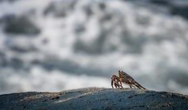 Καβούρι στο βράχο Στοκ Εικόνα