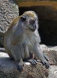 καβούρι 2 που τρώει macaque Στοκ Εικόνες