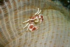 καβούρι anemone Στοκ Εικόνες