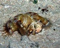 καβούρι anemone Στοκ Φωτογραφία