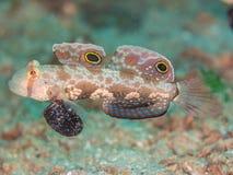 Καβούρι-eyed γοβιός, biocellatus Signigobius Ο Βορράς Sulawesi στοκ εικόνα με δικαίωμα ελεύθερης χρήσης
