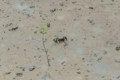 Καβούρι Fiddler, καβούρι φαντασμάτων & x28 Ocypodidae& x29  περπάτημα στο μαγγρόβιο Στοκ Εικόνα