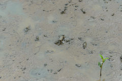 Καβούρι Fiddler, καβούρι φαντασμάτων & x28 Ocypodidae& x29  περπάτημα στο μαγγρόβιο Στοκ Εικόνες
