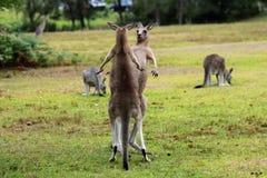 Καγκουρό που κοιτάζει επίμονα το ένα το άλλο - Tomongo Αυστραλία Στοκ Φωτογραφίες