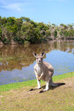 Καγκουρό που στέκεται κοντά στη λίμνη στοκ φωτογραφία