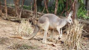 Καγκουρό Wallaby - αυστραλιανή άγρια φύση απόθεμα βίντεο