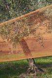καθαρές ελιές στοκ φωτογραφία με δικαίωμα ελεύθερης χρήσης