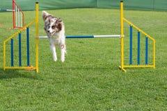 Καθαρής φυλής κόλλεϊ συνόρων σκυλιών που πηδά πέρα από το εμπόδιο στην ευκινησία comp Στοκ Εικόνες