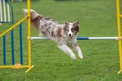 Καθαρής φυλής κόλλεϊ συνόρων σκυλιών που πηδά πέρα από το εμπόδιο στην ευκινησία comp Στοκ εικόνες με δικαίωμα ελεύθερης χρήσης