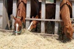 Καθαρής φυλής άλογα κάστανων που ταΐζουν με το αγροτικό ζωικό αγροτικό καλοκαίρι Στοκ Φωτογραφίες