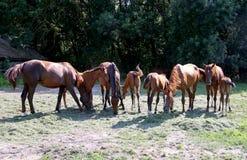 Καθαρής φυλής άλογα gidran που τρώνε τη φρέσκια κομμένη χλόη σε ένα αγροτικό αγρόκτημα αλόγων Στοκ φωτογραφία με δικαίωμα ελεύθερης χρήσης