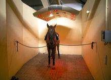 Καθαρής φυλής άλογο κούρσας που κάνει ηλιοθεραπεία στο ειδικό σολάρηο για τα άλογα στοκ φωτογραφία με δικαίωμα ελεύθερης χρήσης