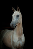 Καθαρής φυλής άλογο Dun Στοκ Φωτογραφίες