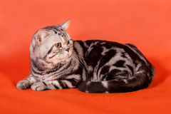 Καθαρής φυλής βρετανική γάτα Στοκ φωτογραφία με δικαίωμα ελεύθερης χρήσης