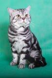 Καθαρής φυλής βρετανική γάτα Στοκ Φωτογραφίες