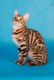 Καθαρής φυλής γάτα της Βεγγάλης Στοκ Εικόνες