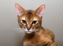 Καθαρής φυλής γάτα Abyssinian Στοκ φωτογραφία με δικαίωμα ελεύθερης χρήσης