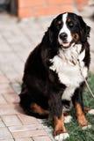 Καθαρής φυλής ενήλικο σκυλί υπαίθρια στη φύση μια ηλιόλουστη ημέρα κατά τη διάρκεια τα τέλη της άνοιξης και τις αρχές του καλοκαι Στοκ φωτογραφία με δικαίωμα ελεύθερης χρήσης
