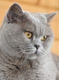 Καθαρής φυλής περσική γάτα μάτια γατών κίτρινα Στοκ Εικόνες