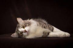 Καθαρής φυλής σιβηρική γάτα που βρίσκεται σκοτεινό σε καφετή Στοκ Φωτογραφίες