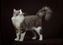 Καθαρής φυλής σιβηρική γάτα στο σκοτεινό καφετί υπόβαθρο Στοκ Εικόνα