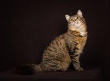 Καθαρής φυλής σιβηρική γάτα Στοκ Εικόνες