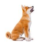 Καθαρής φυλής σκυλί κουταβιών Inu Akita Inu Shiba Στοκ εικόνα με δικαίωμα ελεύθερης χρήσης